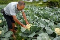 白菜花种植图片