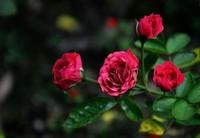 钻石玫瑰图片