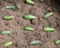 多肉玉米石怎么繁殖,玉米石的扦插方法(枝插/叶插)