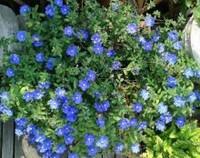 蓝星花有什么作用,园林观赏/城市绿化/净化空气