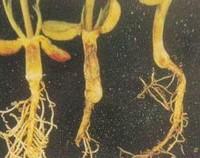 蕾丝花的病虫害防治方法,多通风提前喷药预防(3病1虫)