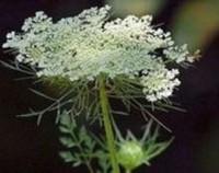 蕾丝花怎么繁殖,蕾丝花的繁殖方法(播种和扦插)