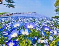 粉蝶花怎么养护,粉蝶花的养护方法(喜温暖散光照)