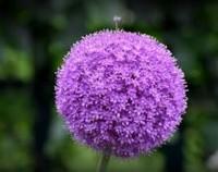 大花葱种球怎么种,荷兰大花葱有毒吗(秋季栽种/无毒)
