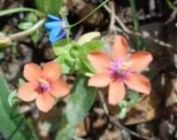 琉璃繁缕的花语,琉璃繁缕的花期(花语娇弱/花期3~4月)