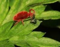 观音草长虫了怎么办,观音草的病虫害防治/2虫2病用药喷
