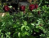 路易十四玫瑰的花语,我只钟情你一个(花期为四季)