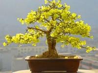 黄腊梅花盆景图片