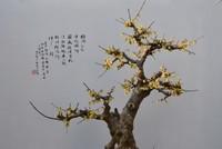腊梅花图片大全大图盆景