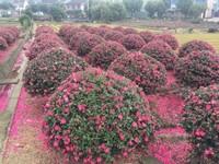 茶梅盆景图片欣赏