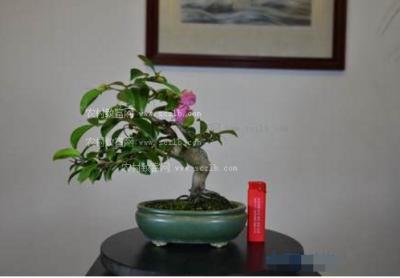 日本茶梅盆景图片