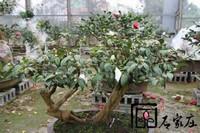 野生茶花盆景图片