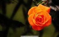 橙玫瑰图片唯美