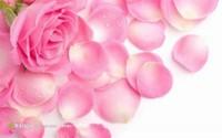 玫瑰花唯美壁纸