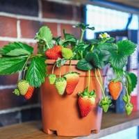 草莓盆栽图