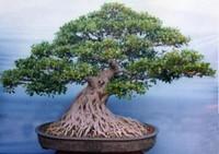 榕树盆景图