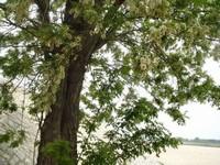 槐花树图片
