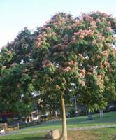 合欢树图片