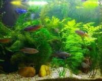 绿菊水草的功效与作用是什么,净化水质/增加氧气和观赏性