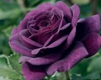 路易十四玫瑰的病虫害防治,斑点病/灰霉病/绣病/红蜘蛛