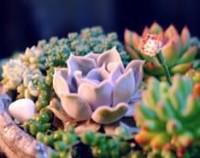 丽娜莲的功效与作用,叶色柔美观赏性强/净化空气吸电辐射