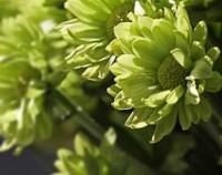 多头菊的花语和寓意,永恒的爱和奉献的亲情(寓意健康长寿)
