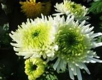 绿菊花的花语和寓意,盼望思恋/清净