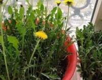 蒲公英的繁殖方式,播种繁殖和移根繁殖/5天可出苗