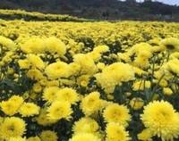 皇菊的功效与作用,不仅能够观赏/还是著名天然保健品