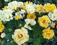 香水月季的病虫害防治方法,黑斑病和白粉病/三大虫害