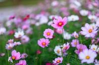 波斯菊怎么种 在什么时候种,在什么时候能看到开花