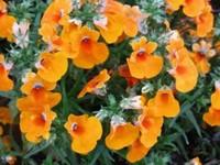 龙面花常见的的病害以及防治方法,龙面花未有过虫害