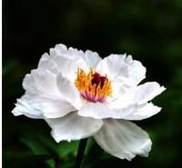 牡丹花的养殖方法,了解这几点养出不一样的牡丹花