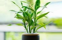 富贵竹烂根什么原因?富贵竹烂根怎么处理