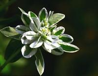 银边翠的种植栽培技术与方法,快来看