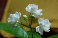 白色茉莉的花语是什么七种茉莉的花语一起来看看吧