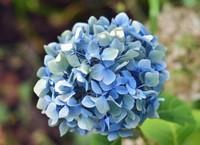 绣球花的花语是什么不同颜色的绣球花花语不同