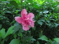美丽木槿花的花语和传说,听到让人觉得欢喜?