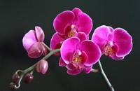 蝴蝶兰花语是什么 蝴蝶兰花色花语