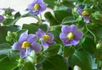 紫芳草花草植物的介绍以及紫芳草的花语和分布范围