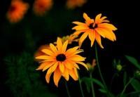 """黑心菊的花语,名字""""黑心""""但它一点都不黑心"""