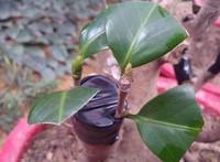 油茶树怎么接茶花 嫁接工具与辅助