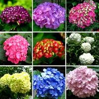 不同颜色绣球花的花语和寓意分别是