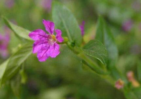 紫萼距花的种植栽培方法以及紫萼距花的繁殖方法