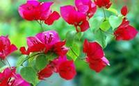 一年四季都盛开的花是什么花 好养活的四季开花植物