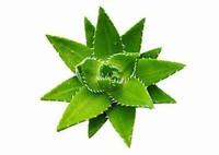 芦荟的种植栽培方法与技巧以及种植栽培芦荟的注意事项