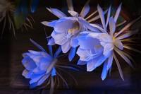 昙花花语和传说,美丽名贵的花卉,凄美