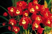 石斛兰的花语以及石斛兰的象征及代