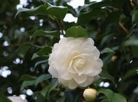 山茶花种殖方法和注意事项(偏微酸性的土壤)