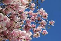 木兰花如何种植?木兰花的生长习性